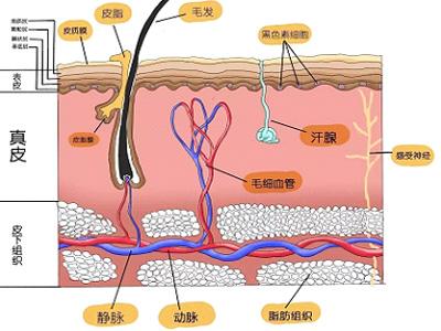 人体组织矢量图