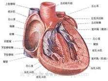肥厚型心肌病