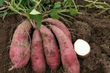 五款自制红薯饭让你一个月就能瘦下来
